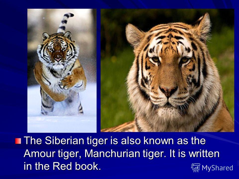 The Siberian tiger is also known as the Amour tiger, Manchurian tiger. It is written in the Red book.