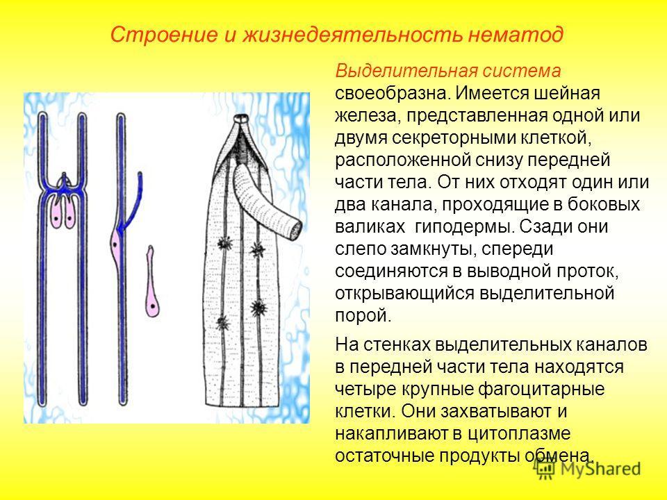 Строение и жизнедеятельность нематод Выделительная система своеобразна. Имеется шейная железа, представленная одной или двумя секреторными клеткой, расположенной снизу передней части тела. От них отходят один или два канала, проходящие в боковых вали