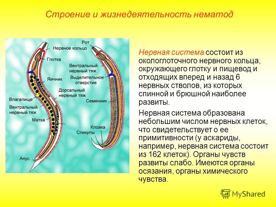 Строение и жизнедеятельность нематод Нервная система состоит из окологлоточного нервного кольца, окружающего глотку и пищевод и отходящих вперед и назад 6 нервных стволов, из которых спинной и брюшной наиболее развиты. Нервная система образована небо