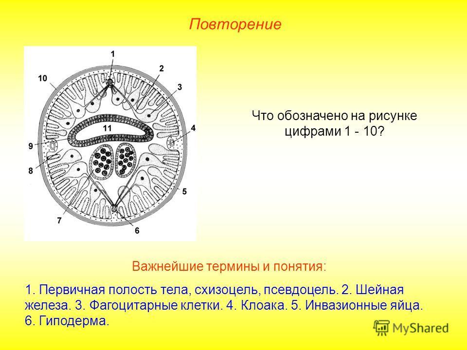 Повторение Что обозначено на рисунке цифрами 1 - 10? Важнейшие термины и понятия: 1. Первичная полость тела, схизоцель, псевдоцель. 2. Шейная железа. 3. Фагоцитарные клетки. 4. Клоака. 5. Инвазионные яйца. 6. Гиподерма.