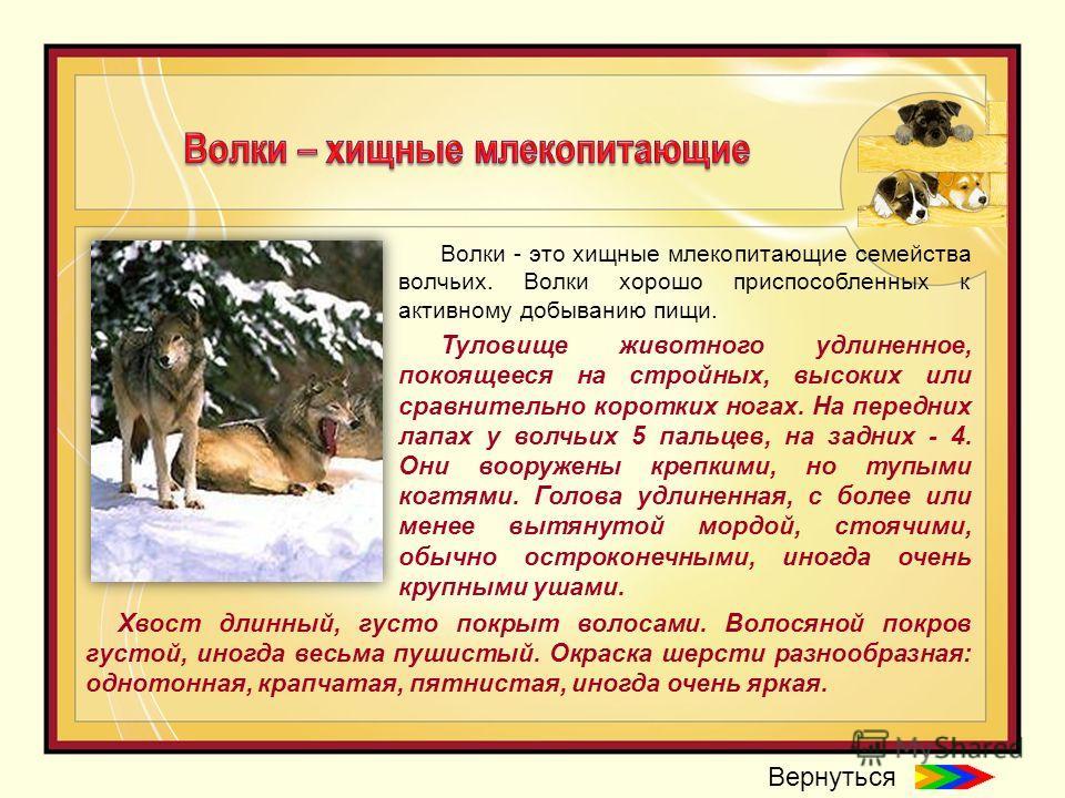 Волки - это хищные млекопитающие семейства волчьих. Волки хорошо приспособленных к активному добыванию пищи. Туловище животного удлиненное, покоящееся на стройных, высоких или сравнительно коротких ногах. На передних лапах у волчьих 5 пальцев, на зад