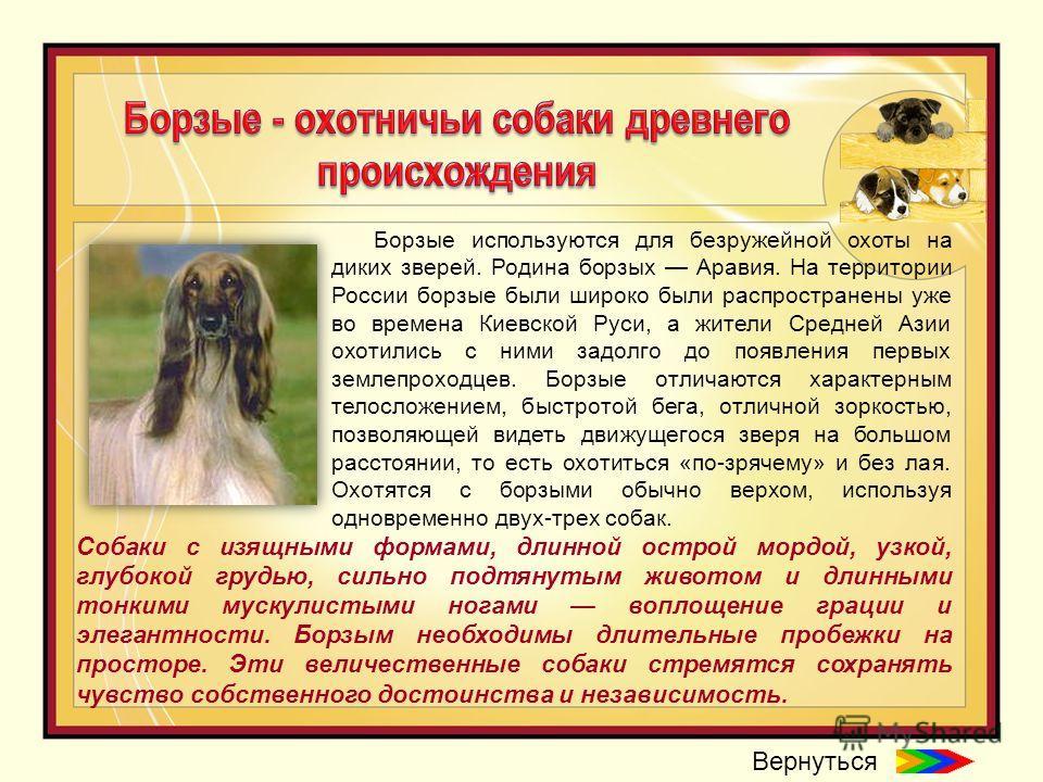 Борзые используются для безружейной охоты на диких зверей. Родина борзых Аравия. На территории России борзые были широко были распространены уже во времена Киевской Руси, а жители Средней Азии охотились с ними задолго до появления первых землепроходц