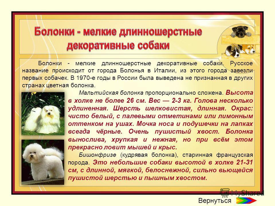 Болонки - мелкие длинношерстные декоративные собаки. Русское название происходит от города Болонья в Италии, из этого города завезли первых собачек. В 1970-е годы в России была выведена не признанная в других странах цветная болонка. Мальтийская боло