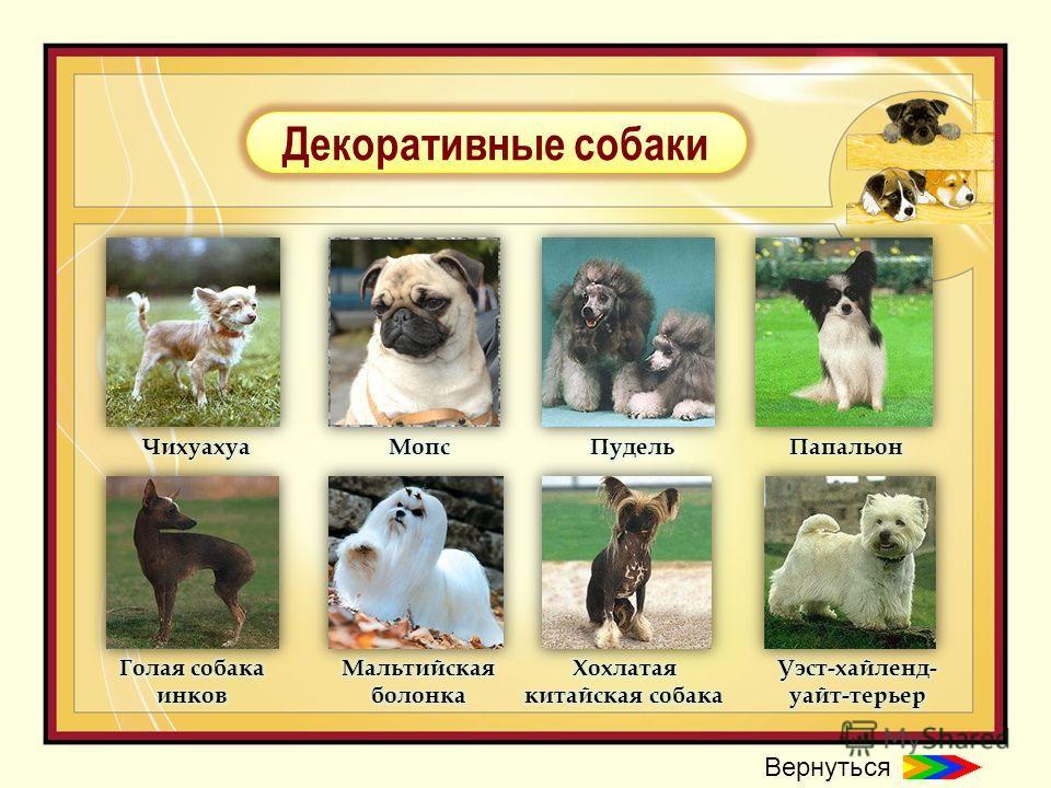 Декоративные собаки Вернуться