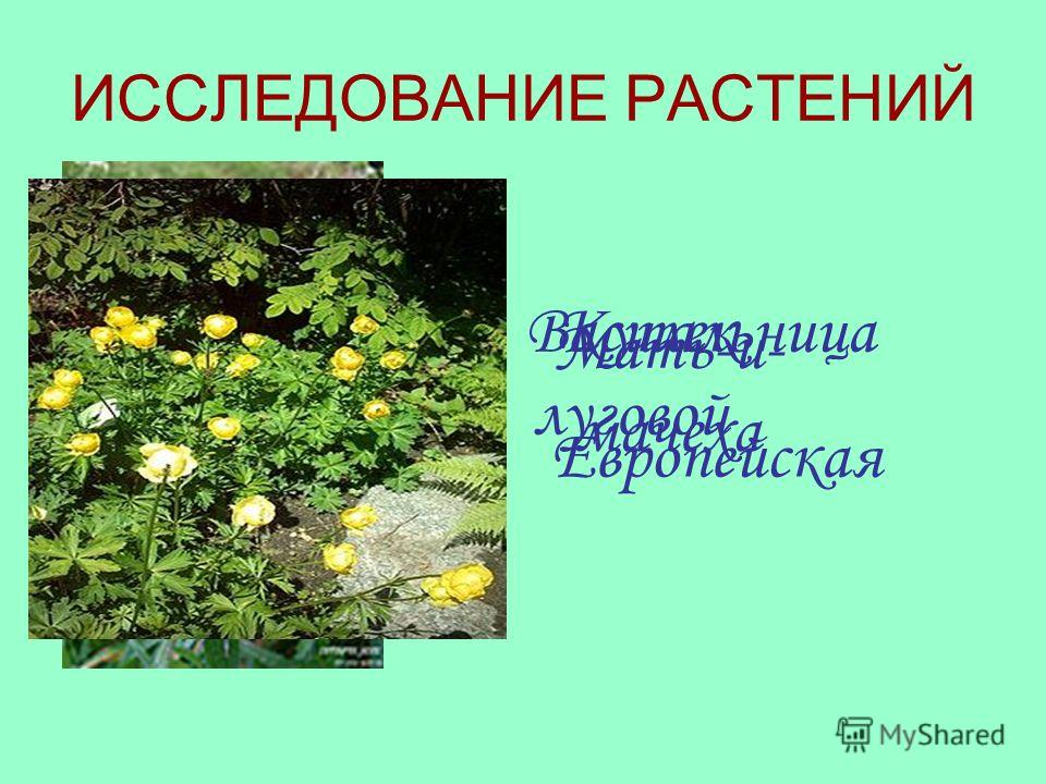 ИССЛЕДОВАНИЕ РАСТЕНИЙ Василек луговой Мать-и- мачеха Купальница Европейская