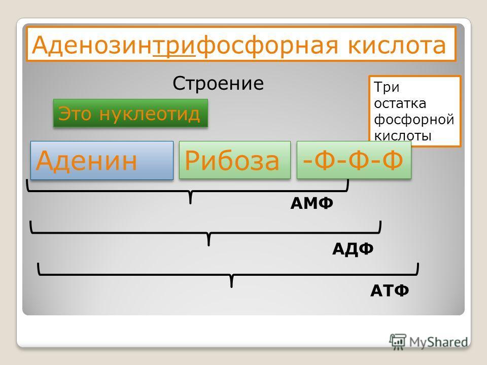 Аденозинтрифосфорная кислота Строение Это нуклеотид Три остатка фосфорной кислоты Аденин Рибоза -Ф-Ф-Ф АМФ АДФ АТФ