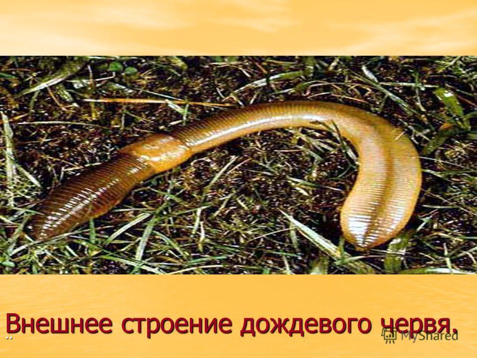 Внешнее строение дождевого червя...