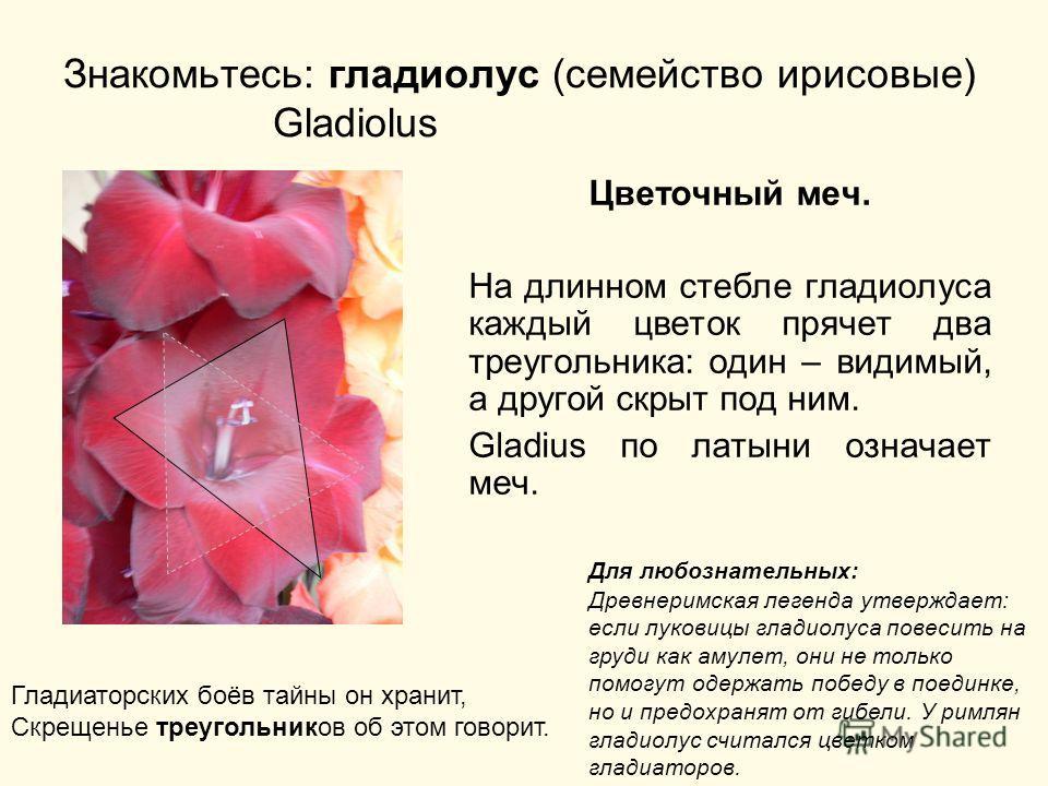 Знакомьтесь: гладиолус (семейство ирисовые) Gladiolus Цветочный меч. На длинном стебле гладиолуса каждый цветок прячет два треугольника: один – видимый, а другой скрыт под ним. Gladius по латыни означает меч. Для любознательных: Древнеримская легенда