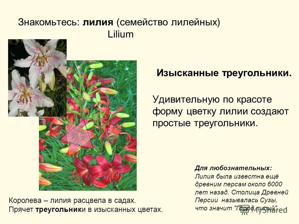 Знакомьтесь: лилия (семейство лилейных) Lilium Изысканные треугольники. Удивительную по красоте форму цветку лилии создают простые треугольники. Королева – лилия расцвела в садах. Прячет треугольники в изысканных цветах. Для любознательных: Лилия был