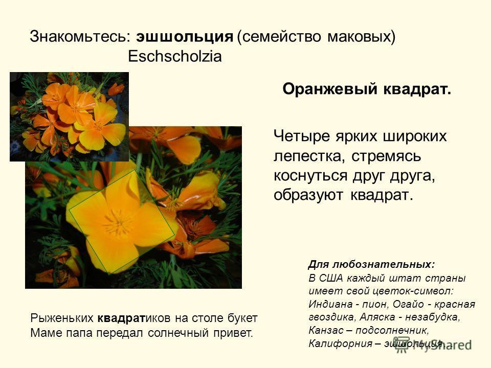 Знакомьтесь: эшшольция (семейство маковых) Eschscholzia Оранжевый квадрат. Четыре ярких широких лепестка, стремясь коснуться друг друга, образуют квадрат. Рыженьких квадратиков на столе букет Маме папа передал солнечный привет. Для любознательных: В