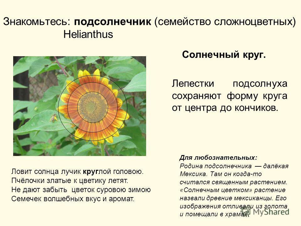 Знакомьтесь: подсолнечник (семейство сложноцветных) Helianthus Солнечный круг. Лепестки подсолнуха сохраняют форму круга от центра до кончиков. Ловит солнца лучик круглой головою. Пчёлочки златые к цветику летят. Не дают забыть цветок суровою зимою С