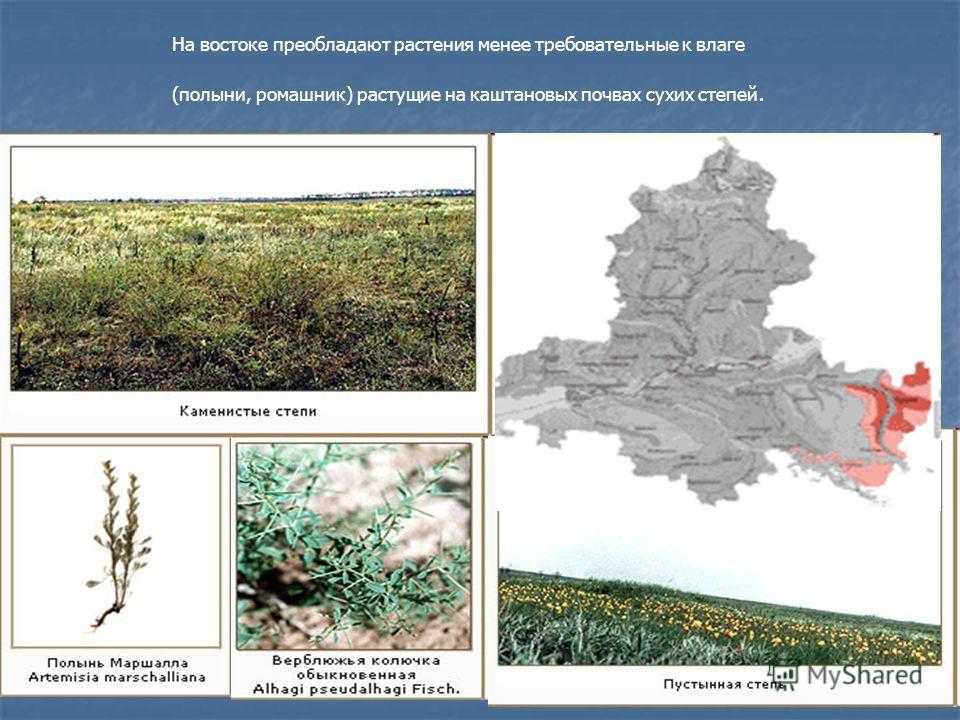 На востоке преобладают растения менее требовательные к влаге (полыни, ромашник) растущие на каштановых почвах сухих степей.
