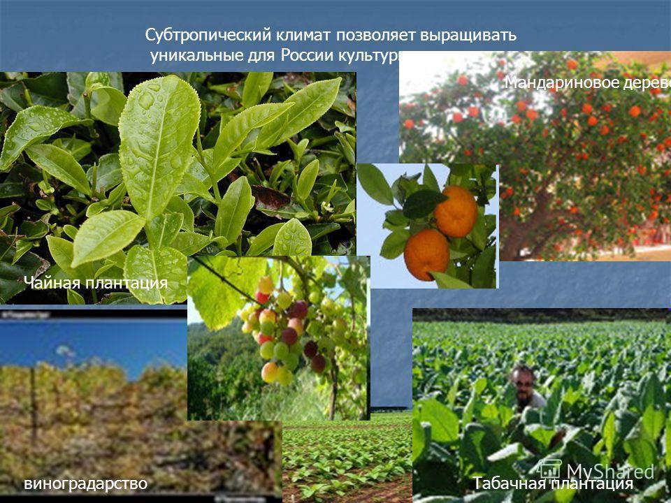 Субтропический климат позволяет выращивать уникальные для России культуры. Чайная плантация Мандариновое дерево виноградарствоТабачная плантация