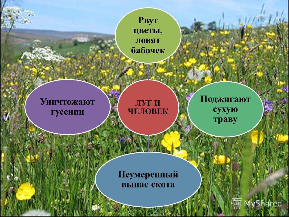 ЛУГ И ЧЕЛОВЕК Рвут цветы, ловят бабочек Поджигают сухую траву Неумеренный выпас скота Уничтожают гусениц