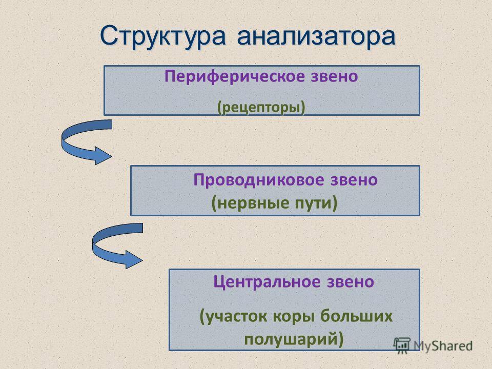 Структура анализатора Периферическое звено (рецепторы) Проводниковое звено (нервные пути) Проводниковое звено (нервные пути) Центральное звено (участок коры больших полушарий) (участок коры больших полушарий)
