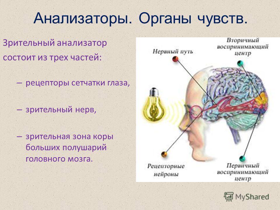 Анализаторы. Органы чувств. Зрительный анализатор состоит из трех частей: – рецепторы сетчатки глаза, – зрительный нерв, – зрительная зона коры больших полушарий головного мозга.