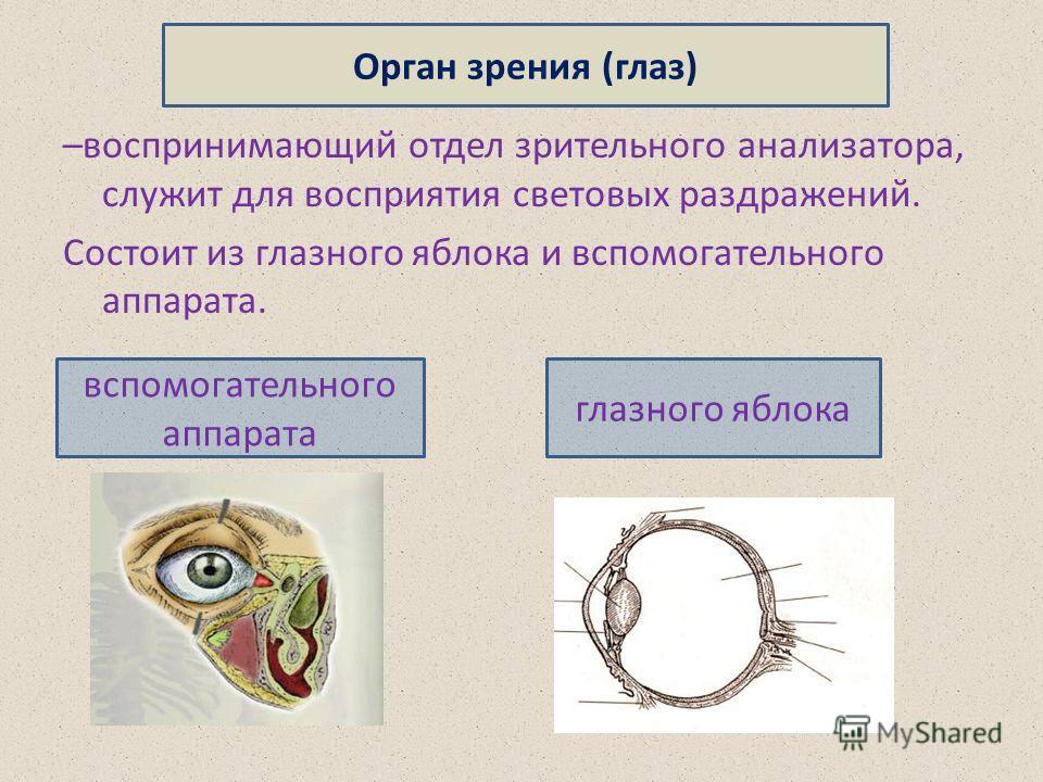–воспринимающий отдел зрительного анализатора, служит для восприятия световых раздражений. Состоит из глазного яблока и вспомогательного аппарата. Орган зрения (глаз) вспомогательного аппарата глазного яблока