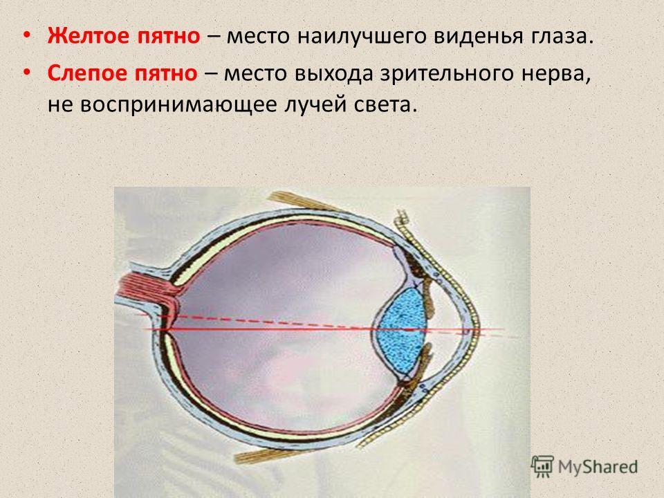 Желтое пятно – место наилучшего виденья глаза. Слепое пятно – место выхода зрительного нерва, не воспринимающее лучей света.