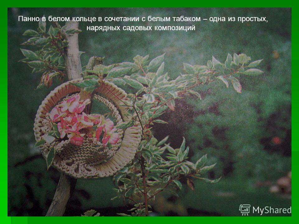 Панно в белом кольце в сочетании с белым табаком – одна из простых, нарядных садовых композиций