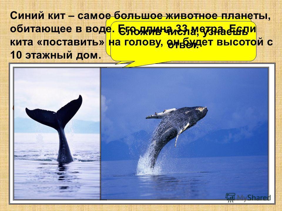 5 17 26 14 8 23 Какова длина синего кита? 11 2 20 Сложив числа, узнаешь ответ. Синий кит – самое большое животное планеты, обитающее в воде. Его длина 33 метра. Если кита «поставить» на голову, он будет высотой с 10 этажный дом.