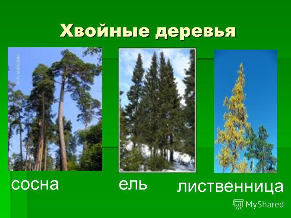 Хвойные деревья соснаель лиственница