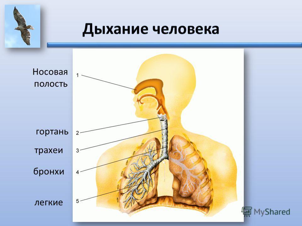 Дыхание человека Носовая полость гортань трахеи бронхи легкие