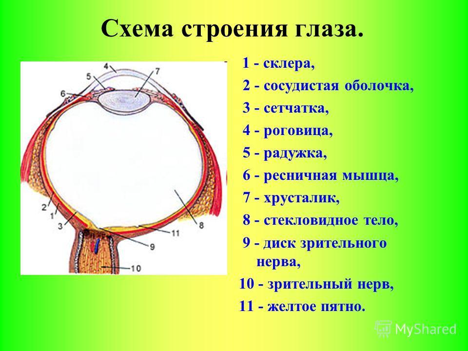 Схема строения глаза.