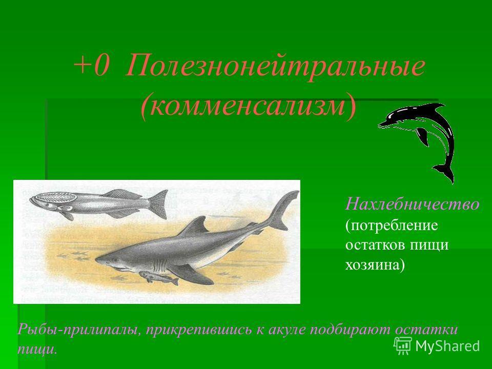 +0 Полезнонейтральные (комменсализм) Нахлебничество (потребление остатков пищи хозяина) Рыбы-прилипалы, прикрепившись к акуле подбирают остатки пищи.