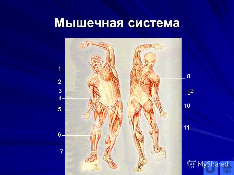 Мышечная система 1 2 3 4 5 6 7 8 9 9 10 11