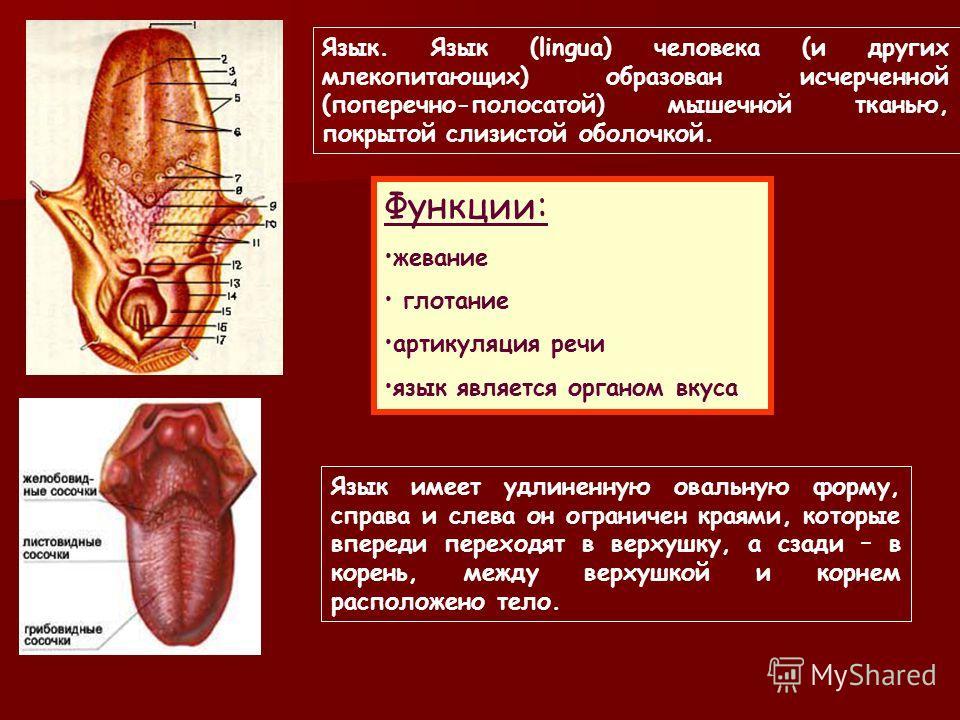 Слюна, выделяемая подъязычной и подчелюстной железами мутная, вязкая, содержит ферменты, слизь. Слюна околоушной железы прозрачная, невязкая, бедная ферментами, в ней нет слизи. Из околоушной железы выделяется в 2 раза меньше слюны, чем из других жел