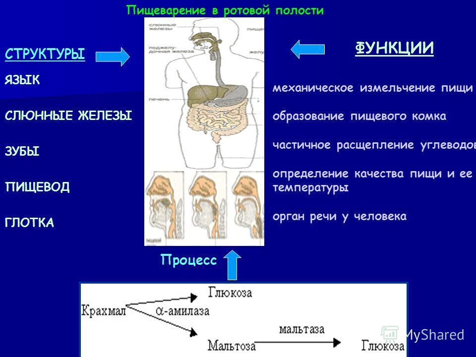 Функции: жевание глотание артикуляция речи язык является органом вкуса. Язык. Язык (lingua) человека (и других млекопитающих) образован исчерченной (поперечно-полосатой) мышечной тканью, покрытой слизистой оболочкой. Язык имеет удлиненную овальную фо