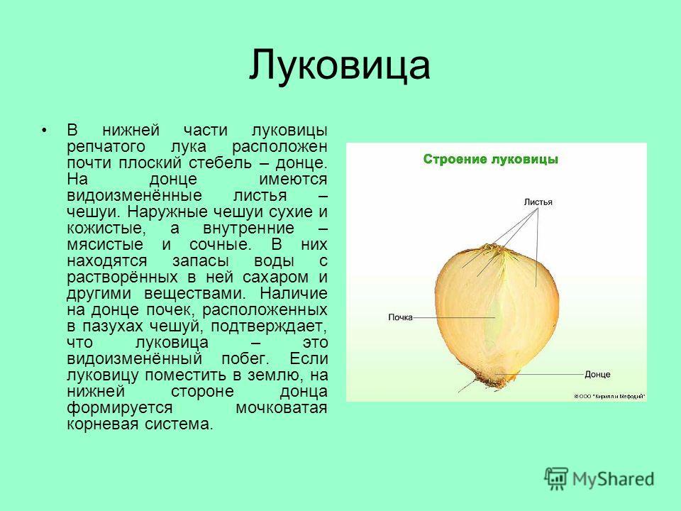 Луковица В нижней части луковицы репчатого лука расположен почти плоский стебель – донце. На донце имеются видоизменённые листья – чешуи. Наружные чешуи сухие и кожистые, а внутренние – мясистые и сочные. В них находятся запасы воды с растворённых в
