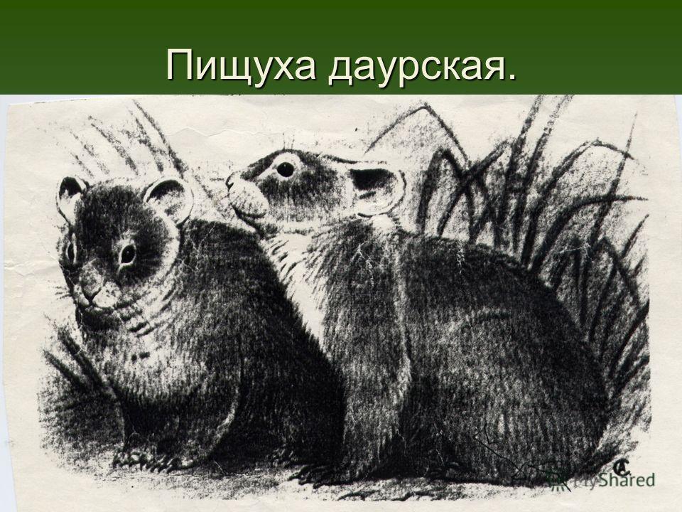 Пищуха даурская.