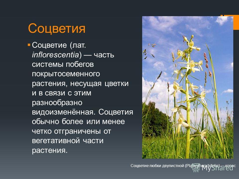 Соцветия Соцветие (лат. inflorescentia) часть системы побегов покрытосеменного растения, несущая цветки и в связи с этим разнообразно видоизменённая. Соцветия обычно более или менее четко отграничены от вегетативной части растения. Соцветие любки дву