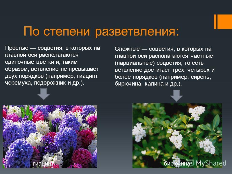 По степени разветвления: Простые соцветия, в которых на главной оси располагаются одиночные цветки и, таким образом, ветвление не превышает двух порядков (например, гиацинт, черёмуха, подорожник и др.). Сложные соцветия, в которых на главной оси расп
