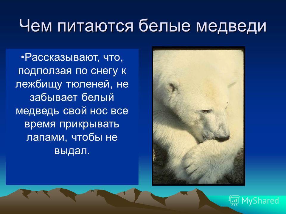 Чем питаются белые медведи В море ловит белый медведь рыбу, на льдинах (да и в воде тоже) тюленей, на берегу песцов, пеструшек, северных оленей. Когда голоден, ест и падаль, водоросли, мхи. Рассказывают, что, подползая по снегу к лежбищу тюленей, не
