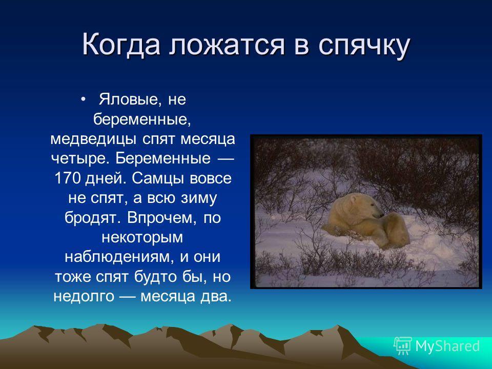 Когда ложатся в спячку Яловые, не беременные, медведицы спят месяца четыре. Беременные 170 дней. Самцы вовсе не спят, а всю зиму бродят. Впрочем, по некоторым наблюдениям, и они тоже спят будто бы, но недолго месяца два.