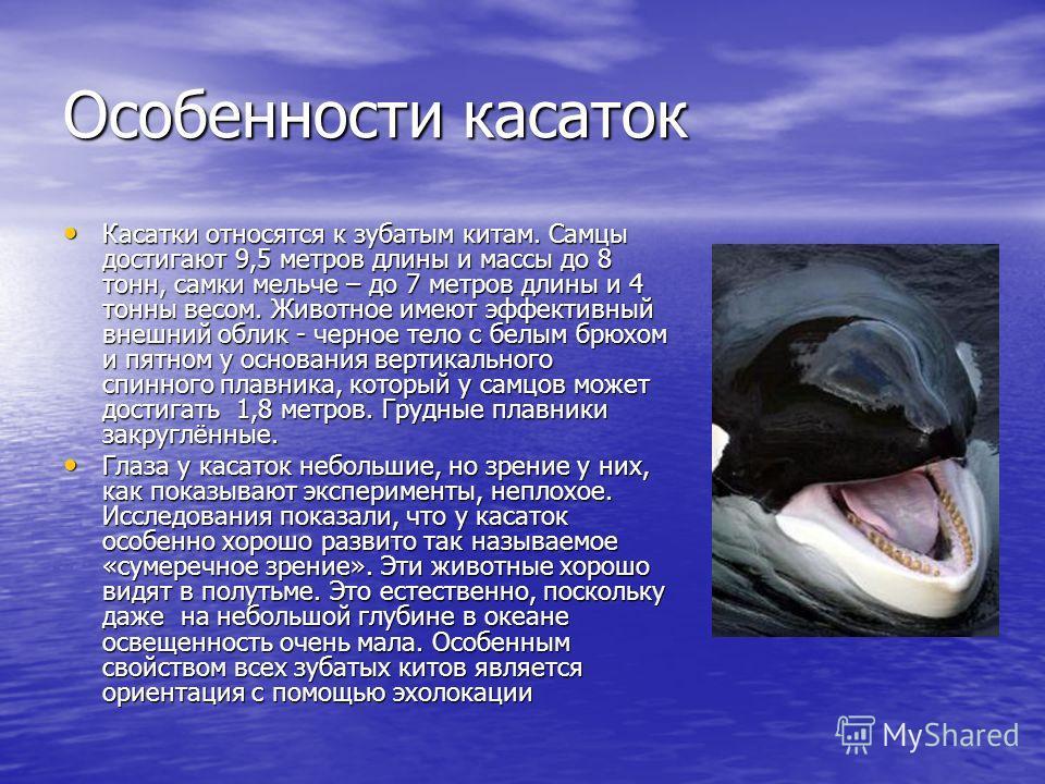 Особенности касаток Касатки относятся к зубатым китам. Самцы достигают 9,5 метров длины и массы до 8 тонн, самки мельче – до 7 метров длины и 4 тонны весом. Животное имеют эффективный внешний облик - черное тело с белым брюхом и пятном у основания ве