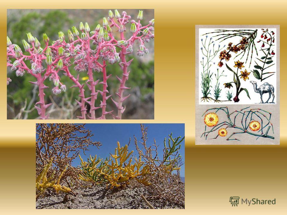 Растительный мир При слове «пустыня» в представлении возникает голое, лишённое растительности пространство, песчаные бугры, барханы, глинистые и каменистые поверхности. Однако растительность есть и в пустынях. Пустынный тип растительности – засухоуст