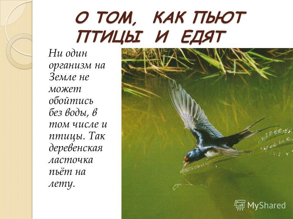 О ТОМ, КАК ПЬЮТ ПТИЦЫ И ЕДЯТ Ни один организм на Земле не может обойтись без воды, в том числе и птицы. Так деревенская ласточка пьёт на лету.