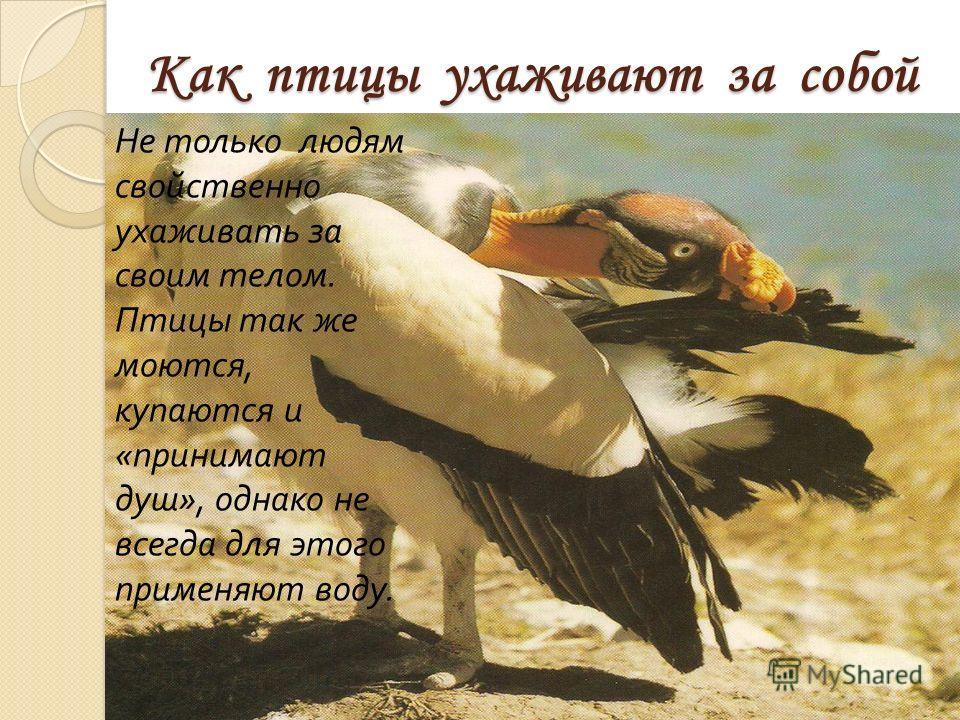Как птицы ухаживают за собой Как птицы ухаживают за собой Не только людям свойственно ухаживать за своим телом. Птицы так же моются, купаются и «принимают душ», однако не всегда для этого применяют воду.