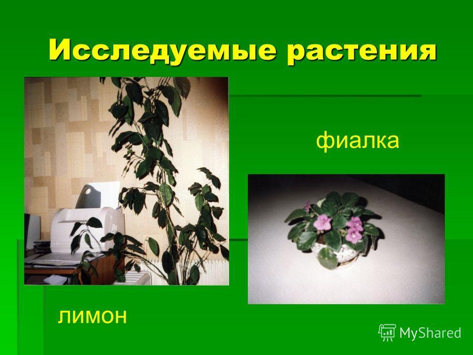 Исследуемые растения Исследуемые растения лимон фиалка