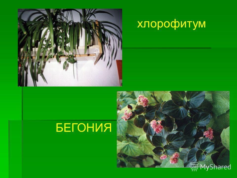 хлорофитум БЕГОНИЯ