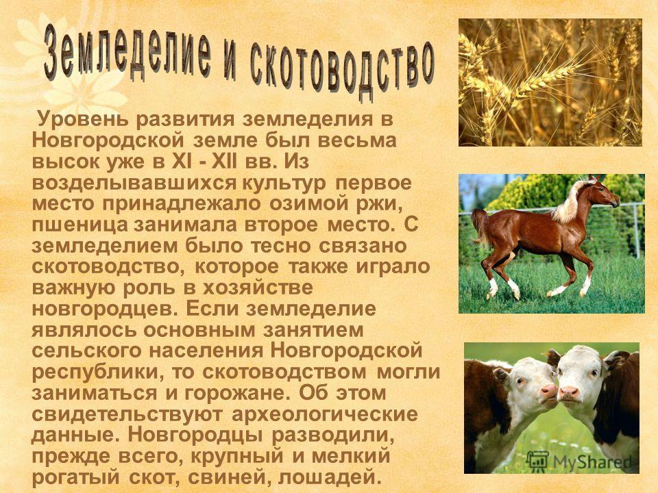 Уровень развития земледелия в Новгородской земле был весьма высок уже в ХI - ХII вв. Из возделывавшихся культур первое место принадлежало озимой ржи, пшеница занимала второе место. С земледелием было тесно связано скотоводство, которое также играло в