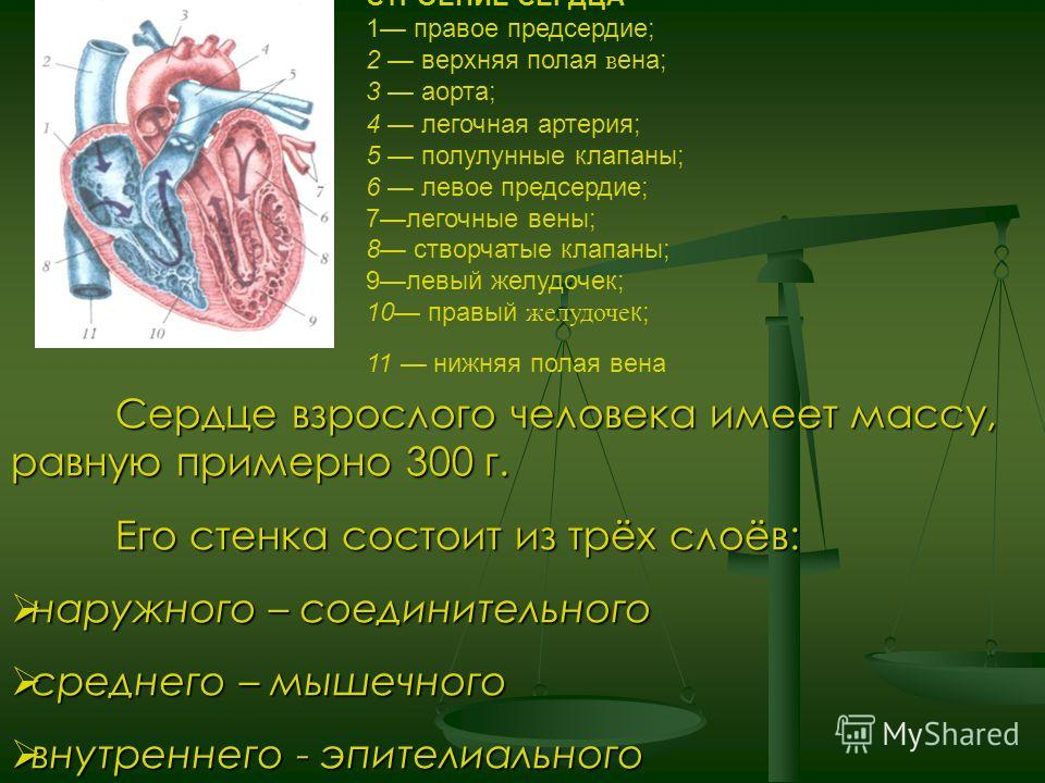 Сердце взрослого человека имеет массу, равную примерно 300 г. Его стенка состоит из трёх слоёв: наружного – соединительного наружного – соединительного среднего – мышечного среднего – мышечного внутреннего - эпителиального внутреннего - эпителиальног