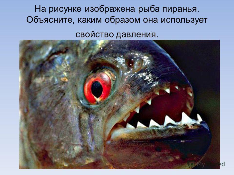 На рисунке изображена рыба пиранья. Объясните, каким образом она использует свойство давления.