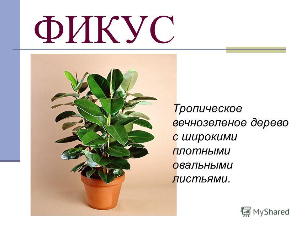 ФИКУС Тропическое вечнозеленое дерево с широкими плотными овальными листьями.