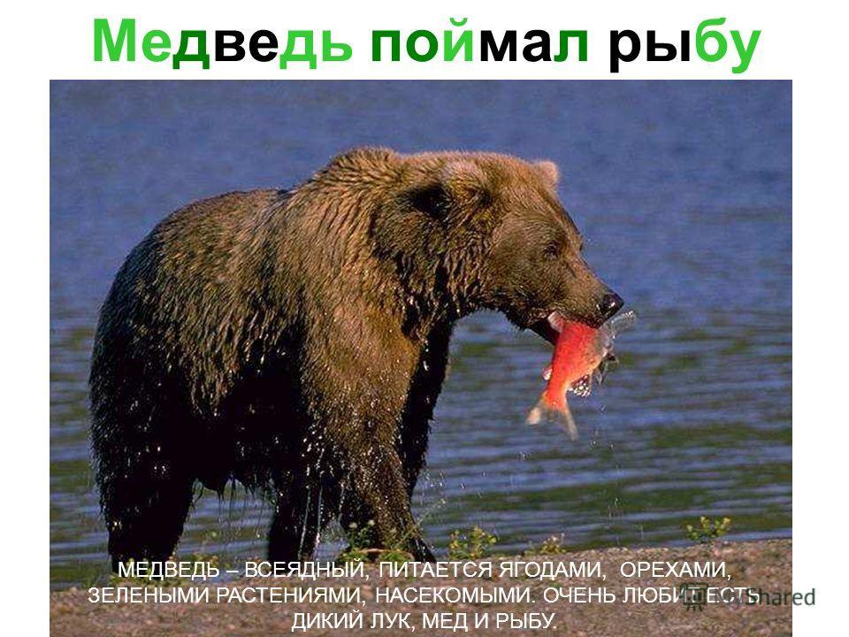 БУРЫЙ МЕДВЕДЬ МЕДВЕДЬ – СИЛЬНЫЙ КРУПНЫЙ ЗВЕРЬ. НО В ТО ЖЕ ВРЕМЯ ЛОВКИЙ И ПОДВИЖНЫЙ. МЕДВЕДИ ВСЮ ЗИМУ СПЯТ В БЕРЛОГЕ. Бурый медведь медведь – сильный крупный зверь. Но в то же время ловкий и подвижный. Медведи всю зиму спят в берлоге.