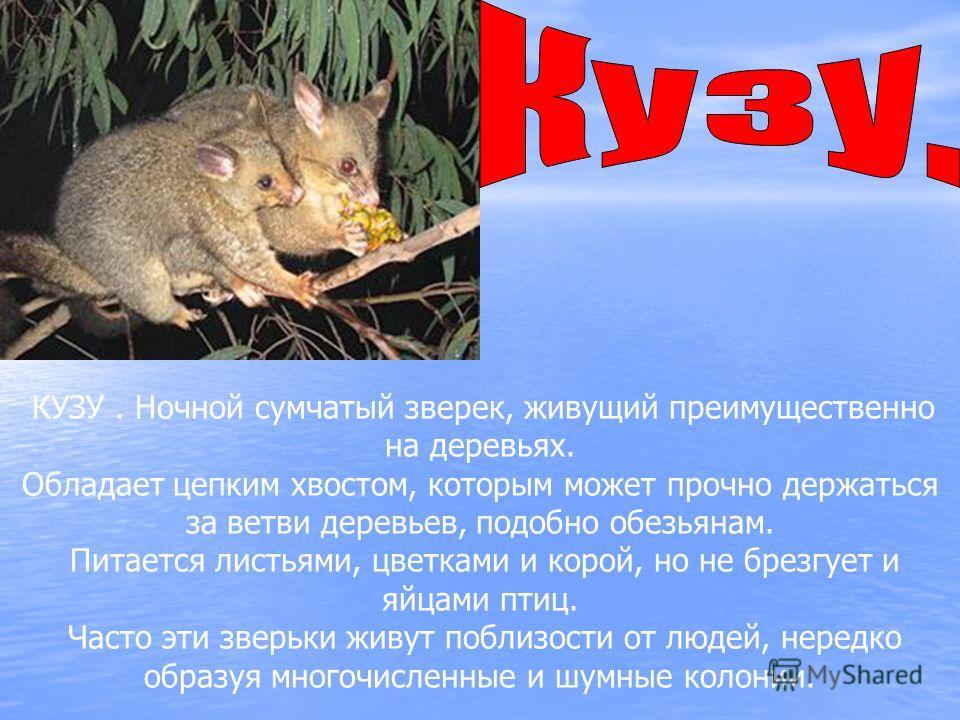 КУЗУ. Ночной сумчатый зверек, живущий преимущественно на деревьях. Обладает цепким хвостом, которым может прочно держаться за ветви деревьев, подобно обезьянам. Питается листьями, цветками и корой, но не брезгует и яйцами птиц. Часто эти зверьки живу