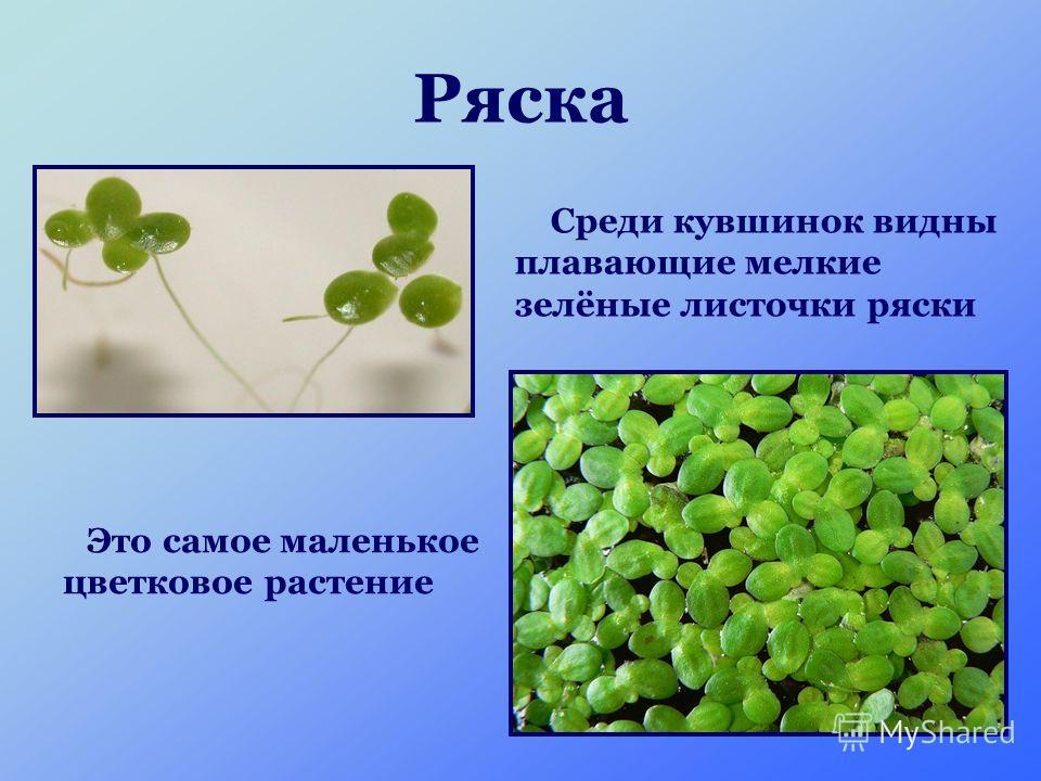 Ряска Это самое маленькое цветковое растение Среди кувшинок видны плавающие мелкие зелёные листочки ряски